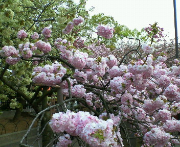 sakura torinuke
